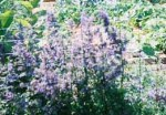 Catmint (Nepeta faassenii) is a hardy perennial